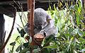 Koala, Australia Zoo (3341175702).jpg