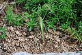 Kobylka zelená (Tettigonia viridissima) (02).jpg