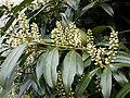 Korina 2011-04-05 Prunus laurocerasus 1.jpg
