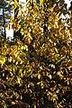 Korina 2013-10-22 Prunus serotina 3.jpg