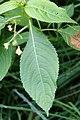 Korina 2017-08-12 Impatiens parviflora 1.jpg