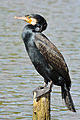 Kormoran (Phalacrocorax carbo) 02,.jpg