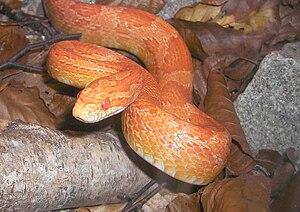 Corn snake vivarium