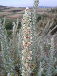 Krascheninnikovia ceratoides sl 4.jpg