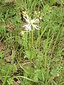 Kuckucks-Lichtnelke mit weißer Blüte.JPG