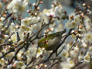 Mejiro (Zosterops japonica) with Ume (Prunus mume), welcome to Japanese spring!