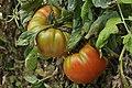 Kurtdoğmuş köyü Turan ALTUN un yetiştirdiğ domatesleri - panoramio.jpg