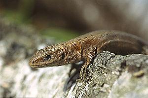 A male viviparous lizard