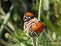 Ladybug on Sibillini Mountains 02.jpg