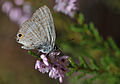 Lampides boeticus - Lampides - Long tailed blue 03.JPG