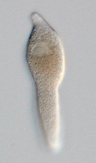 Gregarinasina - Lankesteria cystodytae is an intestinal parasite of ascidians. These aseptate gregarines lack epimerites and instead possess attachment organelles known as mucrons