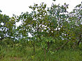 Large-fruited Bushwillow (Combretum zeyheri) (12908085833).jpg