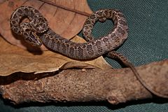 Large-spotted Cat Snake (Boiga multomaculata) 繁花林蛇13.jpg