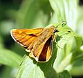 Large Skipper - Flickr - Bennyboymothman (2).jpg