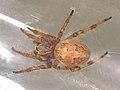 Larinioides cornutus (25880223297).jpg