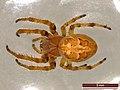 Larinioides cornutus (40041210744).jpg