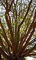 Larix sibirica ствол и ветки.jpg