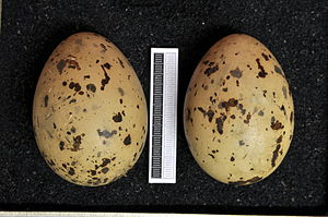 Caspian gull - Eggs, Collection Museum Wiesbaden