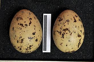 Caspian gull - Eggs, Collection Museum Wiesbaden