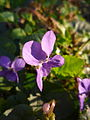 Last rays of sunlight on purple flowers.JPG