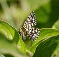 Latticed Heath. Chiasmia c. clathrata (44938481542).jpg