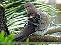 Laughing Dove (Spilopelia senegalensis) (15891535141).jpg