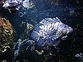 Le poisson scorpion aquarium de st malo - panoramio.jpg