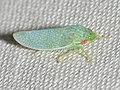 Leafhopper (42938144030).jpg