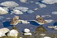 Least Sandpipers.jpg