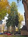 Lebensbaum Aschach, 2.jpg