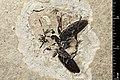 Ledouxnebria brisaci holotype MNHN.F.A40896 direct lighting.jpg