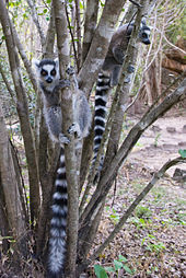 Two ring-tailed lemurs in their natural habitat, clinging vertically to two small trees close to the ground