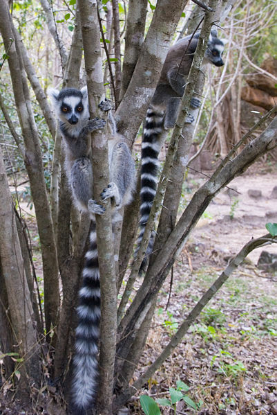 Jean-Louis Vandevivère's photo of a ring tailed Lemur (http://www.flickr.com/people/49932238@N00)