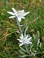 Leontopodium alpinum 2.jpg
