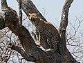Leopard - Flickr - Ragnhild & Neil Crawford.jpg