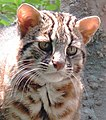 Leopard cat vertical pupils nocturnal ambush predator.jpg