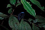 Lepidothrix coronata -NBII Image Gallery-a00181.jpg