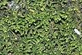 Lepidozia reptans (b, 144704-474747) 2585.jpg