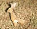 Lepus corsicanus (cropped).jpeg