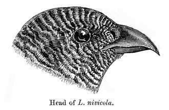 Snow partridge - Head showing barring and curved beak