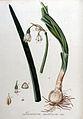 Leucoium aestivum — Flora Batava — Volume v9.jpg