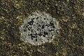 Lichen (35426666926).jpg