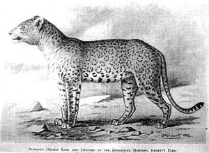 Congolese spotted lion - Frohawk's drawing.