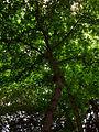 Lilienfeld - Naturdenkmal LF-021 - Parkanlage im Stift Lilienfeld - 08 - Krone einer Kaukasischen Flügelnuss (Pterocarya fraxinifolia).jpg