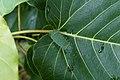 Limacodidae 1491.jpg