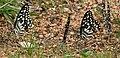 Lime Butterfly (Papilio demoleus) mud-puddling W2 IMG 0233.jpg