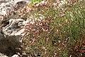 Limonium-ramosissimum-flowers.JPG