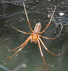 Linyphia triangularis M 070831.jpg