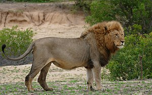 Lion - A male Southern African lion photographed in Kruger National Park, South Africa