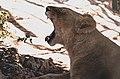 Lion in Al Ma'wa for Nature and Wildlife sleepy.jpg